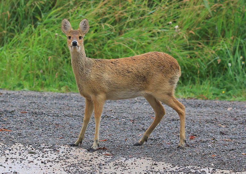 Chinese water Deer on Halvergate Marsh
