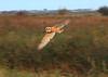 Young Barn Owl on Halvergate Marsh - October 2014