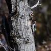 Red-headed Woodpecker Juvenile
