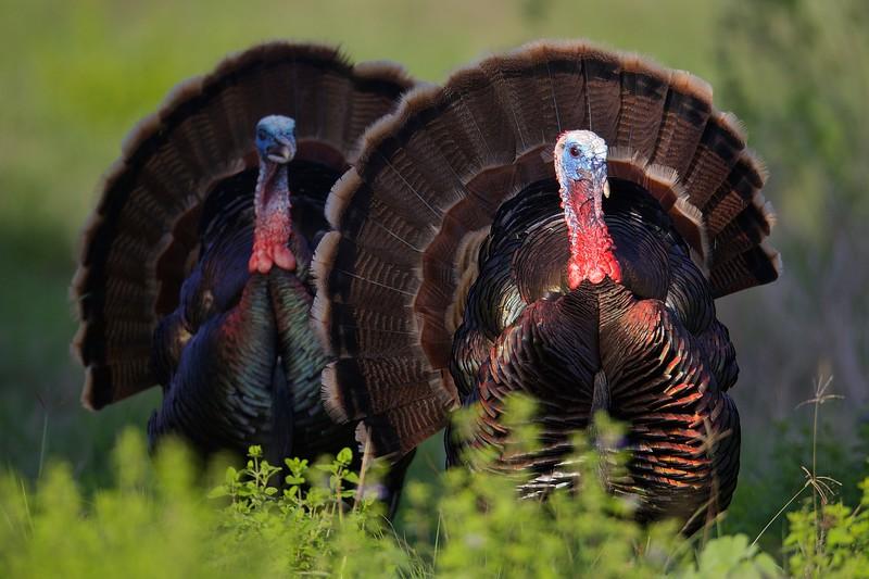 Category A17 Turkey