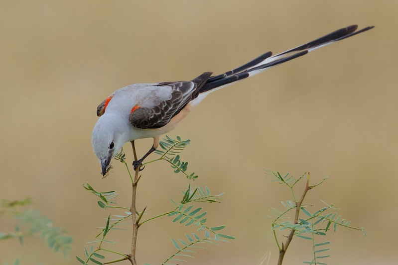 Category A11 Flycatchers & kingbirds: kiskadee, phoebes, & peewees