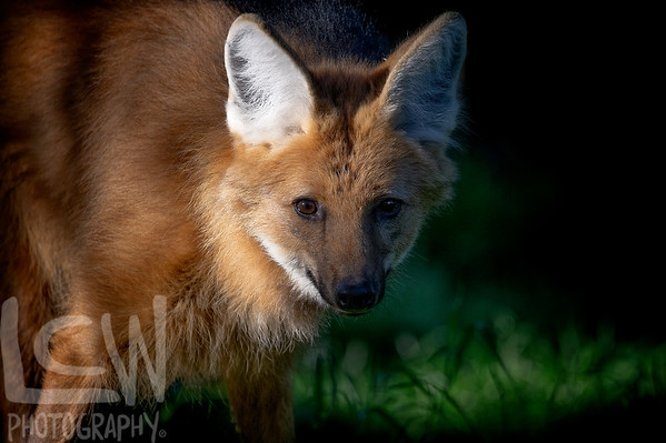 At the edge of light with a Maned Wolf