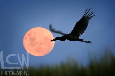 Jabiru and Moon