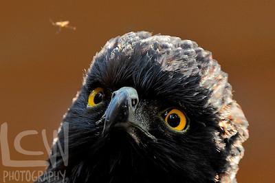 Black Hawk- Eagle