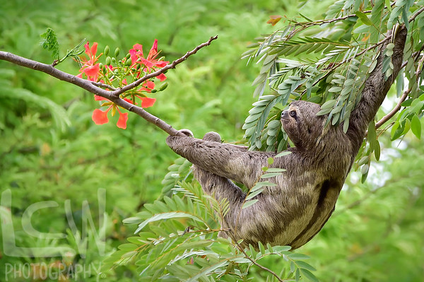 Brown-throated Sloth with Flowers