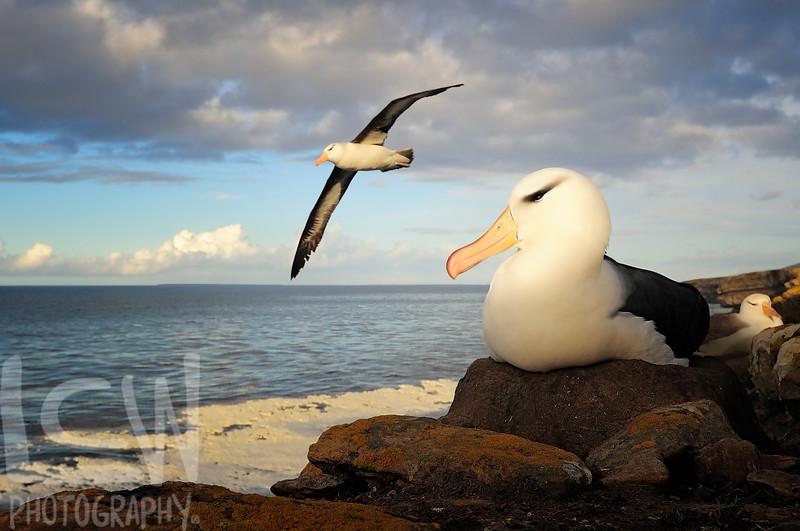 Black-browed Albatross Nesting
