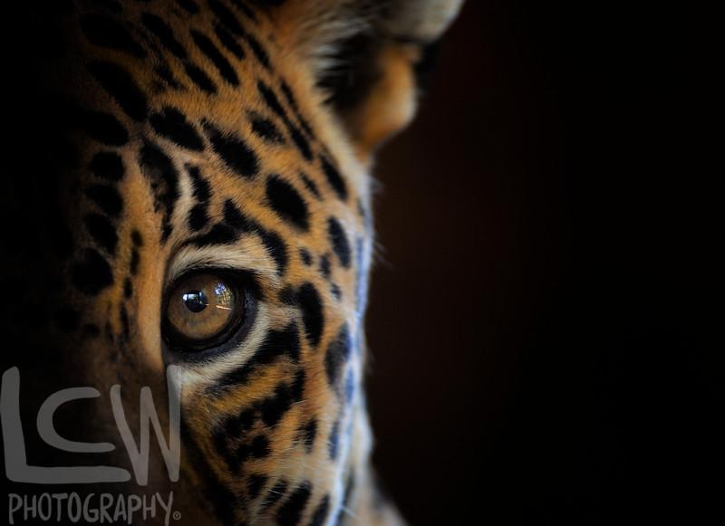 Jaguar's Eye to Eye