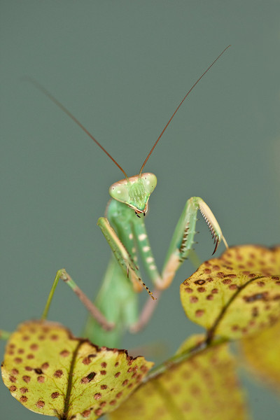Praying Mantis Standing up on a leaf