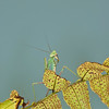 Praying Mantis Insect climbing on leaves