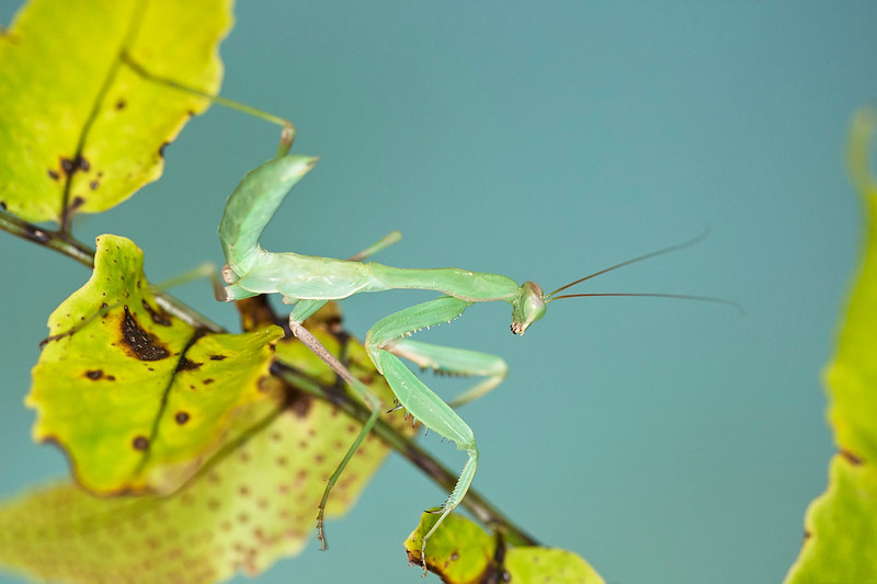 Praying Mantis on a leaf