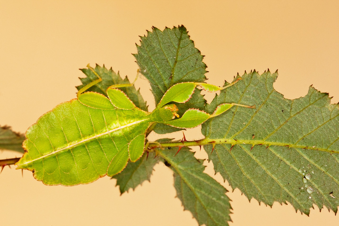 Stick Insect Camouflaged