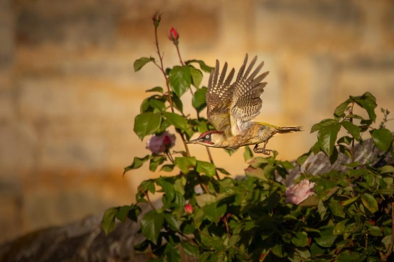 2020 - May dawn greed woodpecker 004