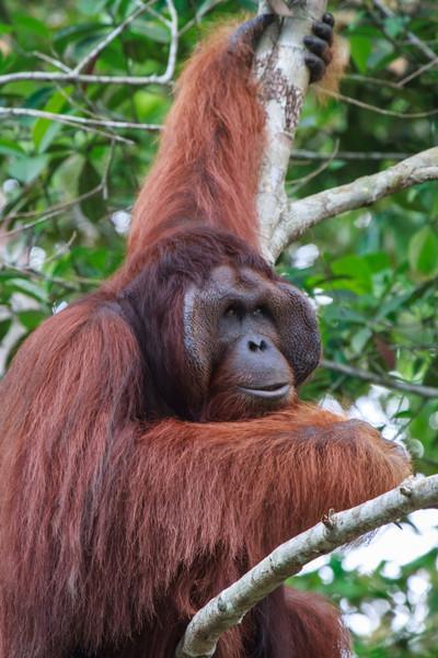 Bornean Orang-utan (male)