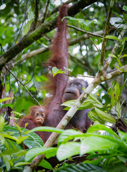 Mother and Baby Orang-utan