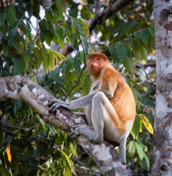 Proboscis Monkey (female)