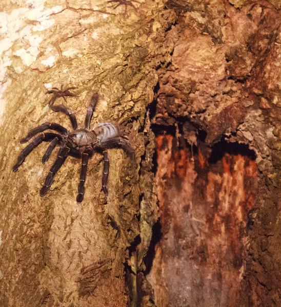Tarantula spider at nest entrance