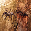 Tarantula spider at nest entrance