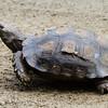 Asian Brown Tortoise