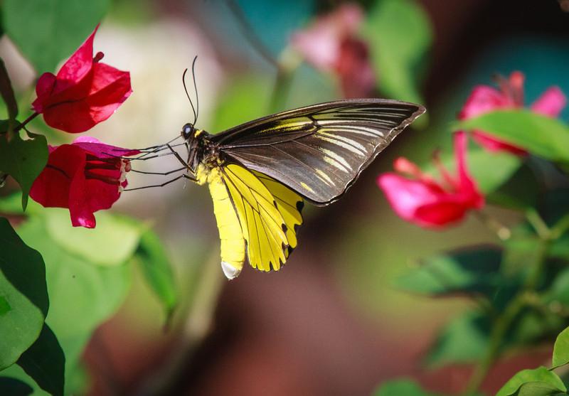 Bird-wing Butterfly
