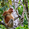 Proboscis Monkey (male)