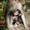 Baby Macaque nursing