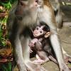 Baby Macaque nursing
