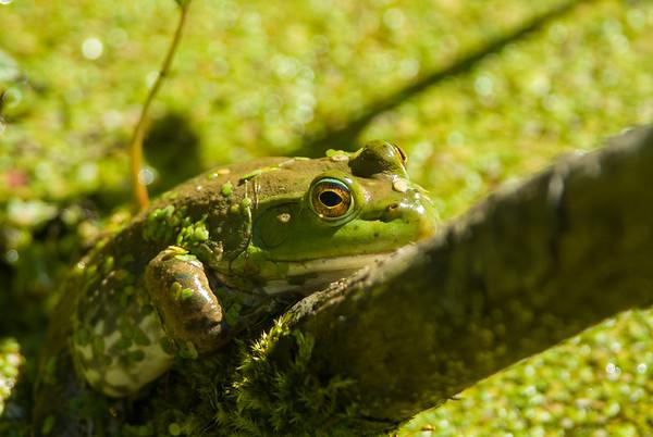 American Bullfrog 2472