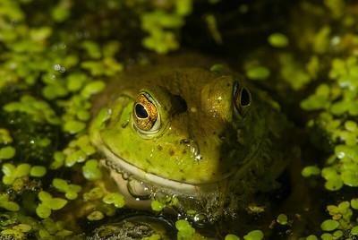 American Bullfrog 1268