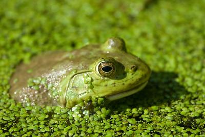 American Bullfrog 4152