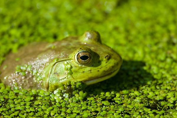 American Bullfrog 4153