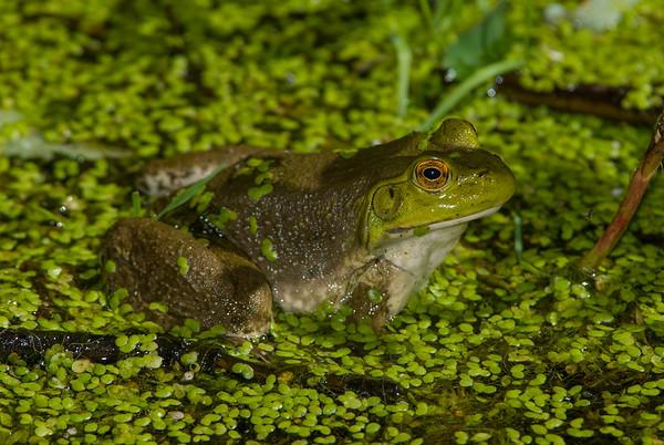 American Bullfrog 1250