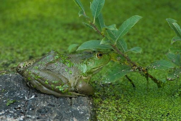 American Bullfrog 4102