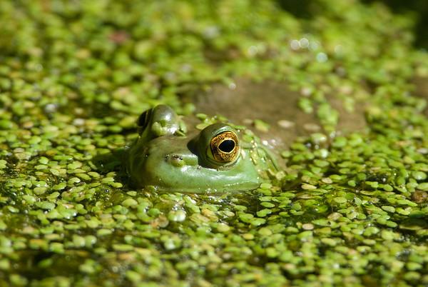 American Bullfrog 2491