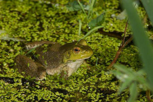 American Bullfrog 1237