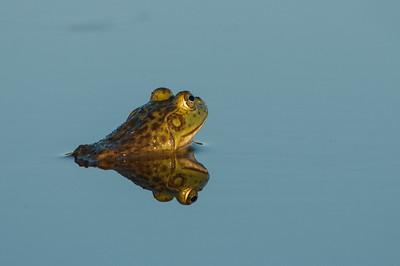 American Bullfrog 7267