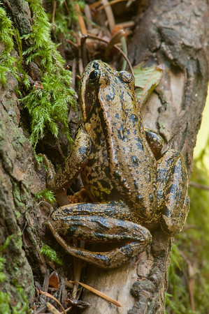Northern Red-legged Frog 9941