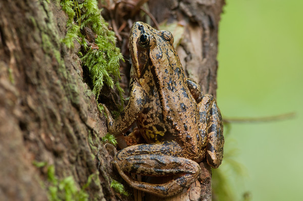 Northern Red-legged Frog 9960