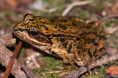 Northern Red-legged Frog 9904