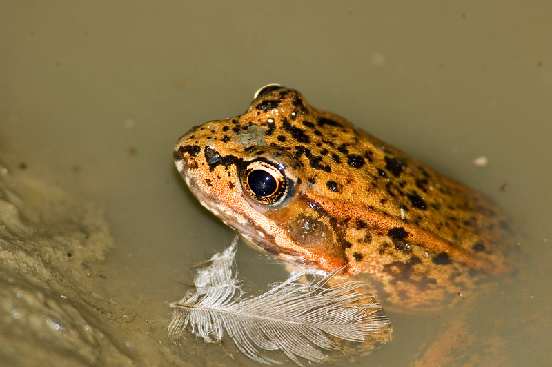 Northern Red-legged Frog 9289