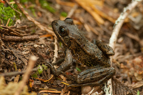 Northern Red-legged Frog 4953