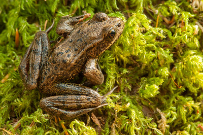 Northern Red-legged Frog 4989