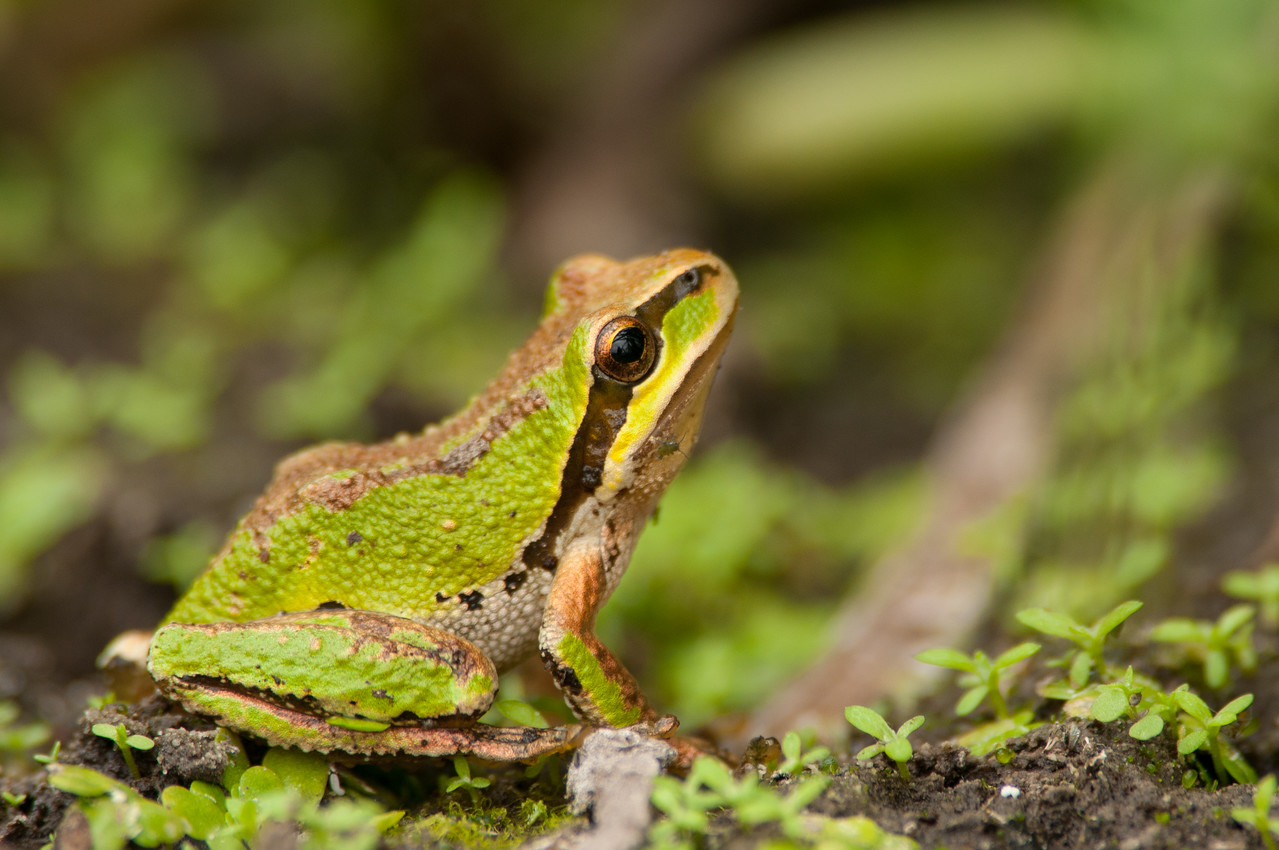 Pacific Chorus Frog 2233
