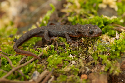 Rough-skinned Newt 5059