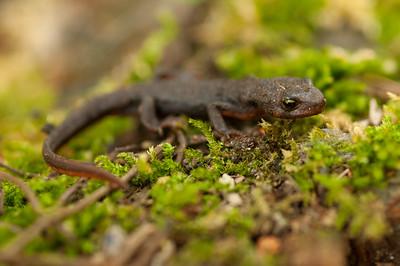 Rough-skinned Newt 5065