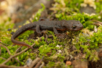 Rough-skinned Newt 5055