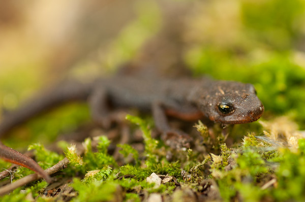 Rough-skinned Newt 5083
