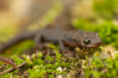Rough-skinned Newt 5083