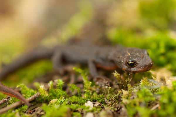 Rough-skinned Newt 5066