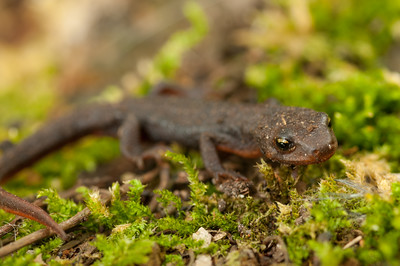 Rough-skinned Newt 5093