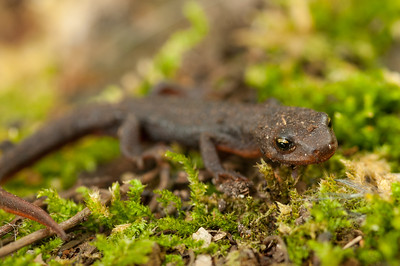 Rough-skinned Newt 5092